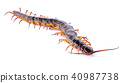 centipede isolated on white background 40987738