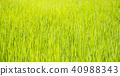 close up rice seedling 40988343