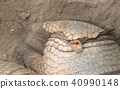 Sleeping armadillo (Chaetophractus villosus)  40990148