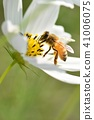波斯菊領域和蜂波斯菊蘑菇秋天蜂蜂蜜蜂蜂蜜 41006075