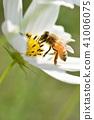 코스모스 밭과 꿀벌 코스모스 코스모스 가을 꿀벌 꿀벌 꿀 41006075