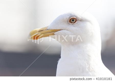 นกนางนวล 41010181