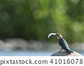 翠鳥養殖季節的翠鳥,含有糊粉 41016078