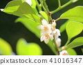 Sakaki's white flower Shinto priest offer 41016347