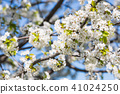 Beautiful cherry blossom sakura in spring time. 41024250