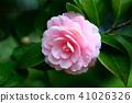 Tsubaki Wang的花 41026326