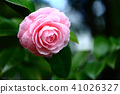 Tsubaki Wang的花 41026327