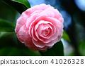Tsubaki Wang的花 41026328
