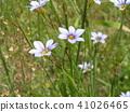붓꽃과, 야생초, 일년초 41026465