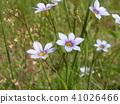 붓꽃과, 야생초, 일년초 41026466