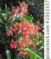 鐵冬青 花朵 花 41033337