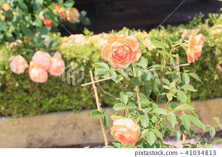 Early Summer Rose Lady of Charlotte Flowers