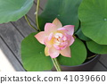 lotus, lotus flower, bloom 41039660