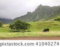 a black angus cow feeding on grass 41040274