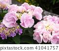 พืชไม้ดอกขนาดใหญ่ 41041757