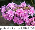พืชไม้ดอกขนาดใหญ่ 41041759