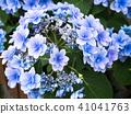 พืชไม้ดอกขนาดใหญ่ 41041763