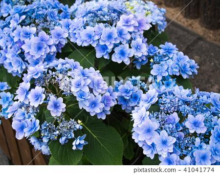 พืชไม้ดอกขนาดใหญ่ 41041774