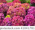 พืชไม้ดอกขนาดใหญ่ 41041781