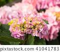 พืชไม้ดอกขนาดใหญ่ 41041783