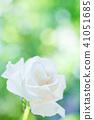 꽃, 플라워, 장미 41051685