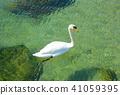 White swan floating on Lake Ontario 41059395
