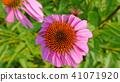 정원의 꽃 이미지 - 에키네시아 41071920