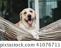 Labrador retriever dog relax on rope hammock 41076711