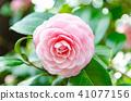분홍색 동백 41077156