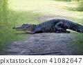 American alligator poops on a trail 41082647