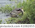 Alligator eating a large fish 41082655