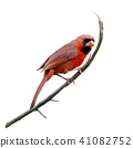 Male Northern Cardinal watercolor 41082752