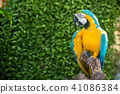 Parrot, lovely bird, animal and pet in the garden 41086384