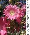 Tatiaoi桃红色花 41097622