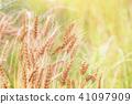 金小麥 41097909