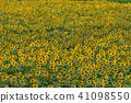 sunflower, sunflowers, sunflower field 41098550