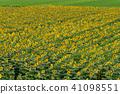 sunflower, sunflowers, sunflower field 41098551
