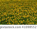 ทานตะวัน,ทุ่งทานตะวัน,ดอกไม้ 41098552