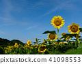 ทานตะวัน,ทุ่งทานตะวัน,ดอกไม้ 41098553