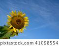 ทานตะวัน,ทุ่งทานตะวัน,ดอกไม้ 41098554