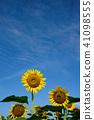 ทานตะวัน,ทุ่งทานตะวัน,ดอกไม้ 41098555