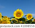 向日葵 向日葵園 花朵 41098556