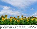 ทุ่งทานตะวัน,ดอกไม้,ทุ่งดอกไม้ 41098557
