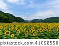 ทานตะวัน,ทุ่งทานตะวัน,ดอกไม้ 41098558