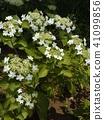 ดอกไม้,ฤดูร้อน,หน้าร้อน 41099856