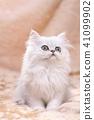 ลูกแมว 41099902