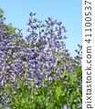 Melasaki Sendaihagi藍色紫色美麗的花 41100537