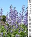 Melasaki Sendaihagi藍色紫色美麗的花 41100540