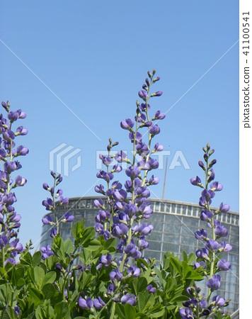 Melasaki Sendaihagi藍色紫色美麗的花 41100541