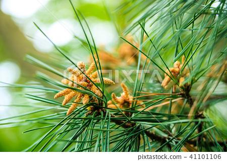 松树 南欧黑松 花朵 41101106
